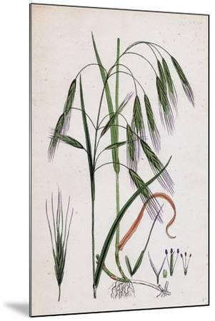 Bromus Sterilis Barren Brome-Grass--Mounted Giclee Print
