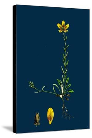 Lolium Italicum; Italian Rye-Grass--Stretched Canvas Print