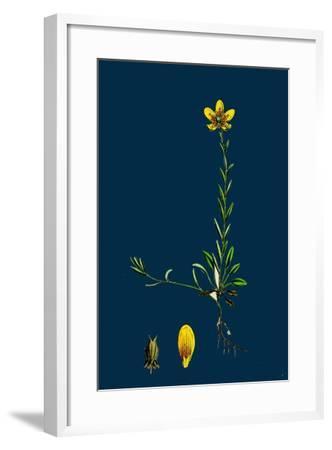Lolium Italicum; Italian Rye-Grass--Framed Giclee Print