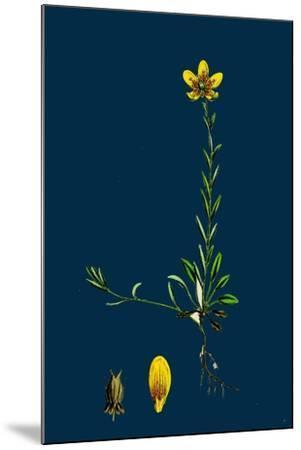 Lolium Italicum; Italian Rye-Grass--Mounted Giclee Print
