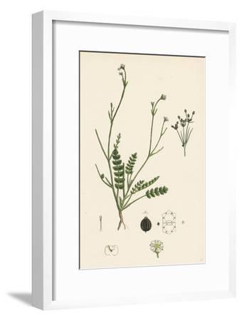 Petroselinum Segetum Corn Parsley--Framed Giclee Print