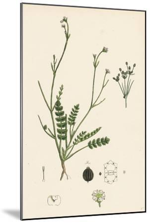 Petroselinum Segetum Corn Parsley--Mounted Giclee Print