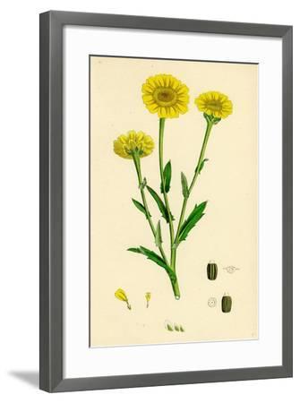 Chrysanthemum Segetum Corn Marigold--Framed Giclee Print