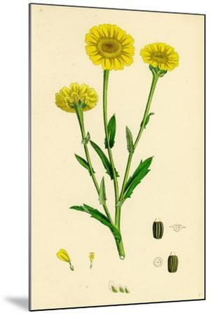 Chrysanthemum Segetum Corn Marigold--Mounted Giclee Print
