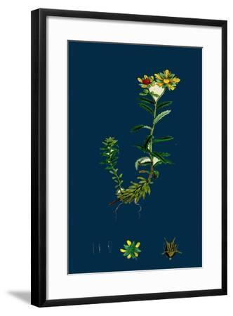 Triticum Junceum; Sand Couch-Grass--Framed Giclee Print