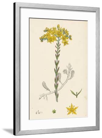 Sedum Elegans Rock Stone-Crop--Framed Giclee Print