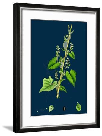 Cichorium Intybus; Wild Succory--Framed Giclee Print