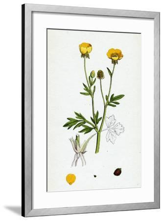 Ranunculus Hirsutus Hairy Crowfoot--Framed Giclee Print