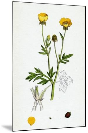 Ranunculus Hirsutus Hairy Crowfoot--Mounted Giclee Print