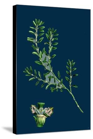 Tragopogon Porrifolius; Salsify--Stretched Canvas Print