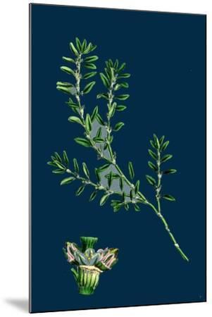 Tragopogon Porrifolius; Salsify--Mounted Giclee Print