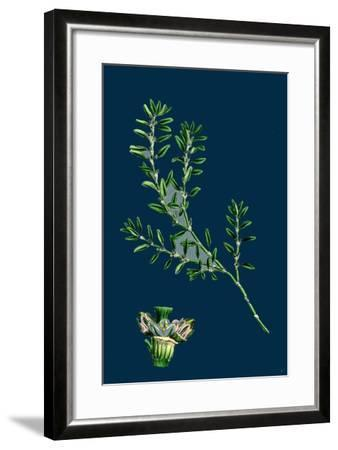 Tragopogon Porrifolius; Salsify--Framed Giclee Print