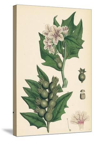 Hyoscyamus Niger Common Henbane--Stretched Canvas Print