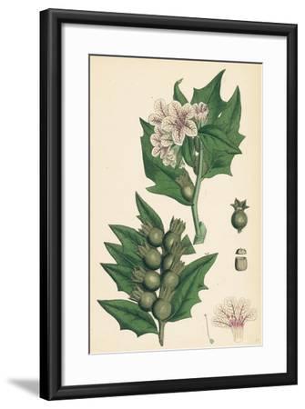 Hyoscyamus Niger Common Henbane--Framed Giclee Print