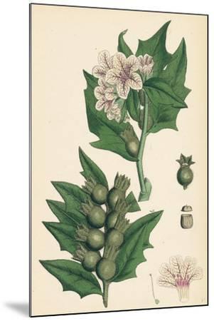 Hyoscyamus Niger Common Henbane--Mounted Giclee Print