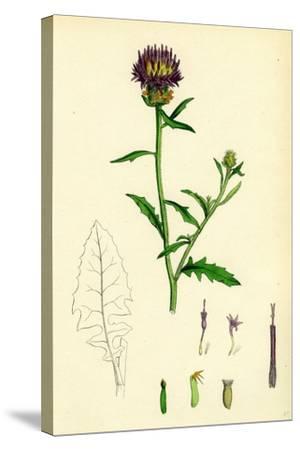 Centaurea Aspera Rough Star-Thistle--Stretched Canvas Print