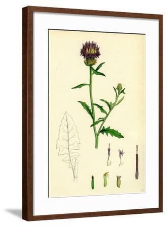 Centaurea Aspera Rough Star-Thistle--Framed Giclee Print