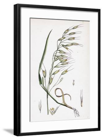 Avena Strigosa Black Oat--Framed Giclee Print
