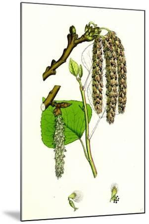 Populus Nigra Black Poplar--Mounted Giclee Print