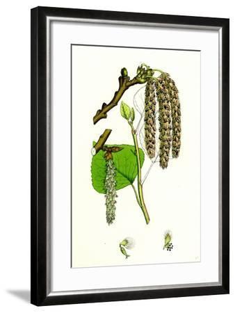 Populus Nigra Black Poplar--Framed Giclee Print