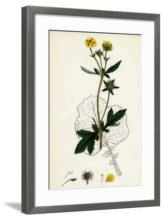Geum Urbanum Wood Avens--Framed Giclee Print