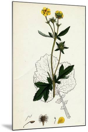Geum Urbanum Wood Avens--Mounted Giclee Print