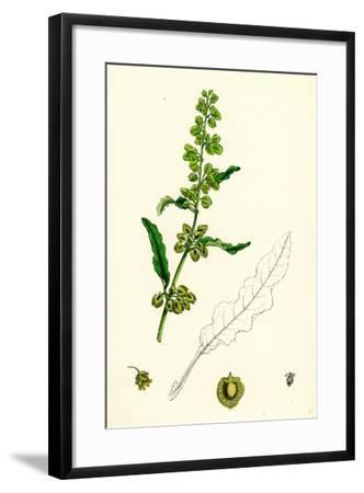 Rumex Crispus Curled Dock--Framed Giclee Print
