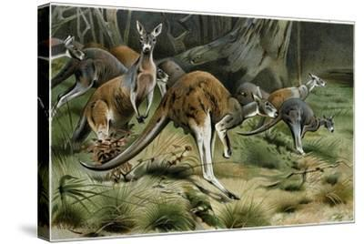 The Red Kangaroo--Stretched Canvas Print