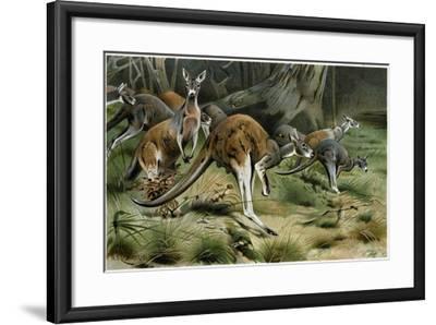 The Red Kangaroo--Framed Giclee Print
