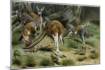 The Red Kangaroo--Mounted Giclee Print