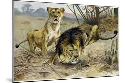 Lion and Lioness--Mounted Giclee Print