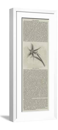 The Amaryllis--Framed Giclee Print