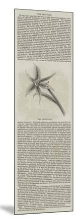 The Amaryllis--Mounted Giclee Print