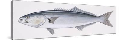 Fishes: Perciformes Pomatomidae, Bluefish (Pomatomus Saltatrix)--Stretched Canvas Print