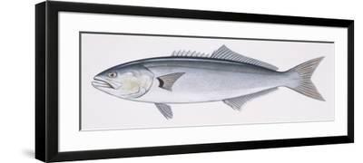 Fishes: Perciformes Pomatomidae, Bluefish (Pomatomus Saltatrix)--Framed Giclee Print