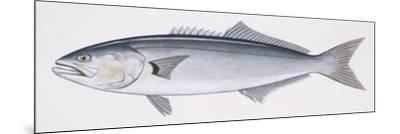 Fishes: Perciformes Pomatomidae, Bluefish (Pomatomus Saltatrix)--Mounted Giclee Print