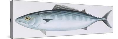 Fishes: Perciformes Scombridae - Atlantic Bonito (Sarda Sarda)--Stretched Canvas Print