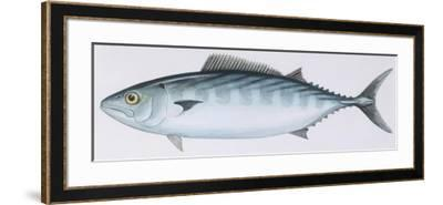 Fishes: Perciformes Scombridae - Atlantic Bonito (Sarda Sarda)--Framed Giclee Print