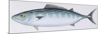 Fishes: Perciformes Scombridae - Atlantic Bonito (Sarda Sarda)--Mounted Giclee Print