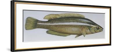 Fishes: Perciformes Labridae - Brown Wrasse (Labrus Merula)--Framed Giclee Print