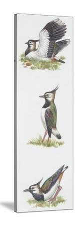 Zoology: Birds, Northern Lapwing (Vanellus Vanellus)--Stretched Canvas Print