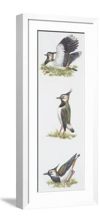 Zoology: Birds, Northern Lapwing (Vanellus Vanellus)--Framed Giclee Print