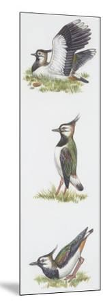 Zoology: Birds, Northern Lapwing (Vanellus Vanellus)--Mounted Giclee Print