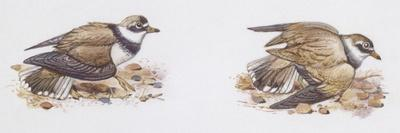 Zoology: Birds, Ringed Plover (Charadrius Hiaticula)--Framed Giclee Print