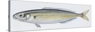 Fishes: Perciformes Sparidae - Salema (Sarpa Salpa)--Stretched Canvas Print