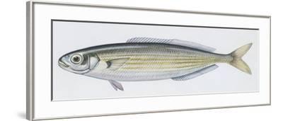 Fishes: Perciformes Sparidae - Salema (Sarpa Salpa)--Framed Giclee Print