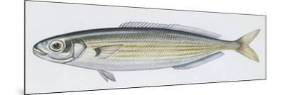 Fishes: Perciformes Sparidae - Salema (Sarpa Salpa)--Mounted Giclee Print
