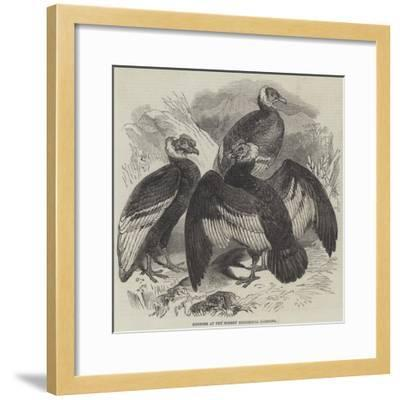 Condors at the Surrey Zoological Gardens--Framed Giclee Print