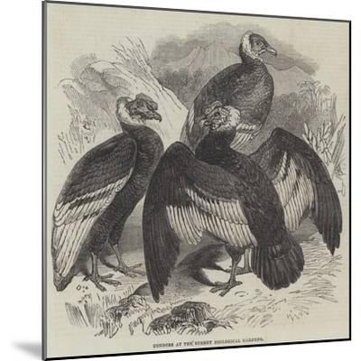 Condors at the Surrey Zoological Gardens--Mounted Giclee Print