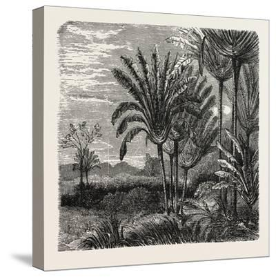 The Travellers Tree (Urania Speciosa)--Stretched Canvas Print